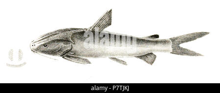 The species names / identity need verification. The original plates showed the fishes facing right and have been flipped here. Arius gagora . 1878 26 Arius gagora Day 107 - Stock Photo