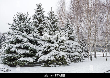 Frosty January snow covered grove of young spruces in the city park - Stock Photo