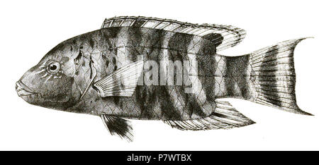 The species names / identity need verification. The original plates showed the fishes facing right and have been flipped here. Cheilinus fasciatus . 1878 89 Cheilinus fasciatus Mintern 84 - Stock Photo