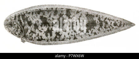 The species names / identity need verification. The original plates showed the fishes facing right and have been flipped here. Cynoglossus dispar . 1878 101 Cynoglossus dispar Suzini 96 - Stock Photo