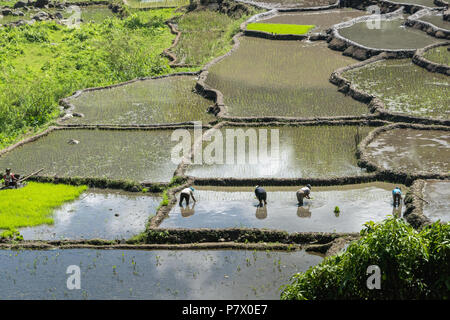 Planting rice shoots in water-filled paddies, near Detsuoko, East Nusa Tenggara, Indonesia - Stock Photo