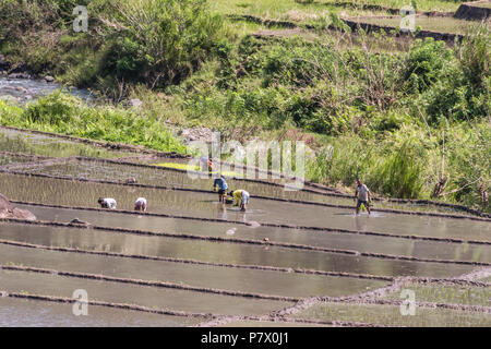 Planting rice shoots, near Detusoko, East Nusa Tenggara, Indonesia - Stock Photo