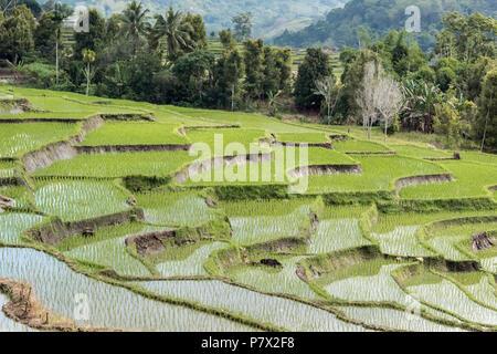 Water-filled rice paddies, near Kelimutu National Park, East Nusa Tenggara, Indonesia - Stock Photo