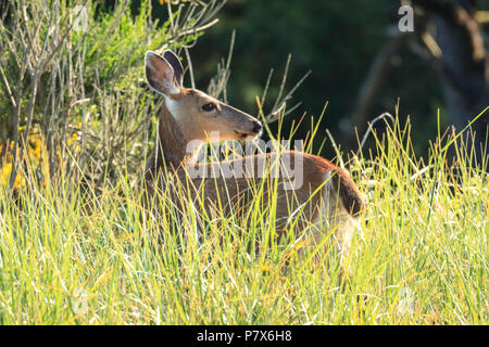 A white tail deer, odocoileus virginianus, stands in the tall grass in northwest, Oregon. - Stock Photo