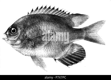 The species names / identity need verification. The original plates showed the fishes facing right and have been flipped here. Glyphidodon leucogaster . 1878 173 Glyphidodon leucogaster Day 81 - Stock Photo
