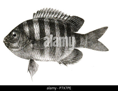 The species names / identity need verification. The original plates showed the fishes facing right and have been flipped here. Glyphidodon bengalensis . 1878 173 Glyphidodon bengalensis Mintern 83 - Stock Photo