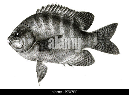 The species names / identity need verification. The original plates showed the fishes facing right and have been flipped here. Glyphidodon sordidus . 1878 173 Glyphidodon sordidus Mintern 83 - Stock Photo