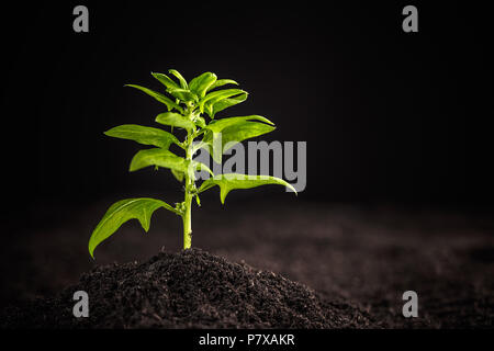 Young spinach plant growing in the soil - Stock Photo