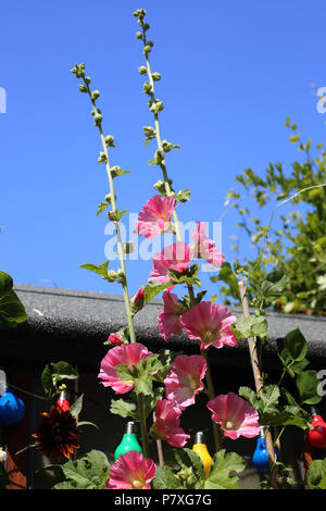 Hollyhocks (Malvaceae), growing in an English garden on a bright summer day. - Stock Photo