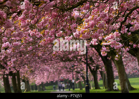A canopy of Pink Cherry blossom over a path in Harrogate,North Yorkshire,England,UK. - Stock Photo