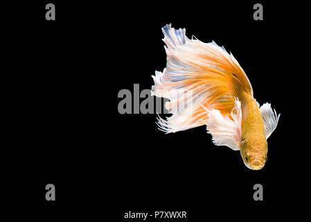 Golden Betta Siamese fighting fish, Betta splendens Pla-kad ( biting fish ) of Thailand, swimming motion on black isolated background, Animal and Aqua - Stock Photo