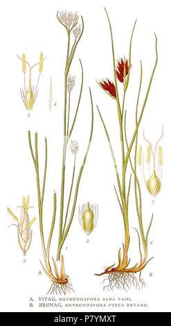 426 Rhynchospora alba, R. fusca. - Stock Photo