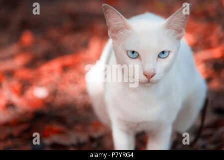 The white cat is staring and sitting on the red ground made from red Maple leaves in the park. Autumn or Spring season. Selective focus at the eyes, A - Stock Photo