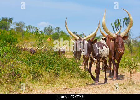 Ankole Cattle, Watusi Cows, Lake Mburo, Uganda, East Africa - Stock Photo