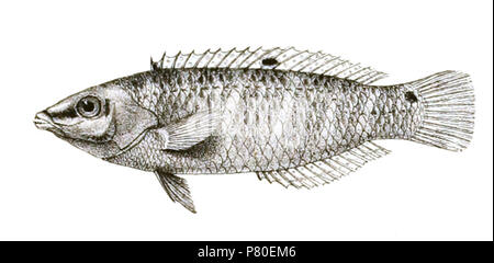The species names / identity need verification. The original plates showed the fishes facing right and have been flipped here. Platyglossus leparensis . 1878 316 Platyglossus leparensis Mintern 84 - Stock Photo