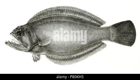 The species names / identity need verification. The original plates showed the fishes facing right and have been flipped here. Psettodes erumei . 1878 323 Psettodes erumei Suzini 91 - Stock Photo