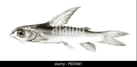The species names / identity need verification. The original plates showed the fishes facing right and have been flipped here. Rita chrysea . 1878 334 Rita chrysea Mintern104 - Stock Photo