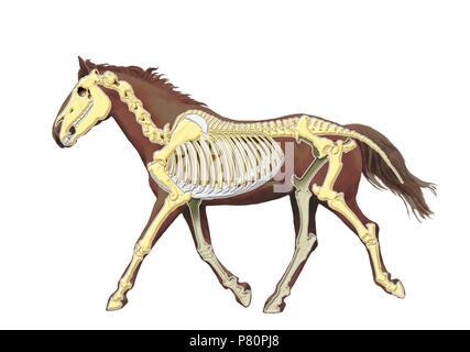 Horse skeleton.