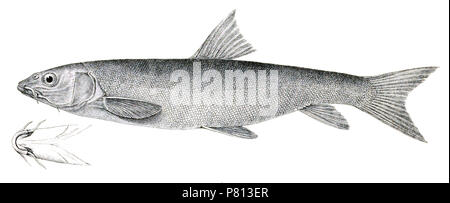 The species names / identity need verification. The original plates showed the fishes facing right and have been flipped here. Schizothorax intermedius . 1878 342 Schizothorax intermedius Achilles 124 - Stock Photo
