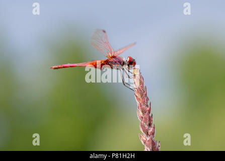 Crocothemis erythraea is a species of dragonfly in the family Libellulidae aka broad scarlet, common scarlet-darter, scarlet darter and scarlet dragonfly. Male in habitat. - Stock Photo
