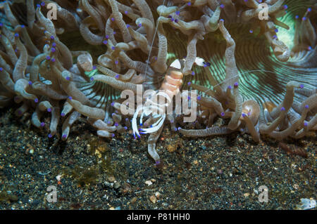 Magnificent shrimp [Periclemenes magnificus] on tentacles of Catalophyllia jardinei.  Lembeh Strait, North Sulawesi, Indonesia. - Stock Photo