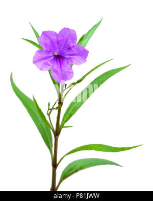 one violet flower isolated on white background - Stock Photo