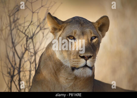 Silver Eye Lioness Portrait close up with an intimidating fierce looking lion - Stock Photo