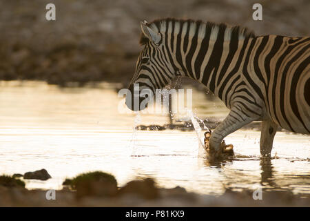 Zebra entering water and splashing the pond for quenching thirst and cooling down - Stock Photo