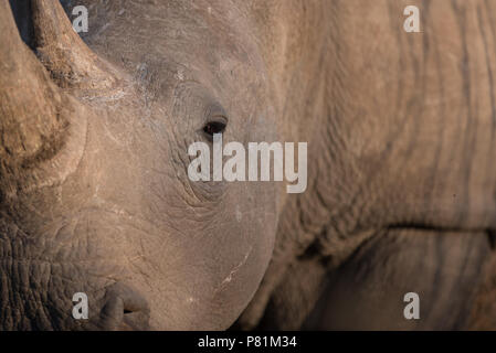 Wild white rhino close up portrait head shot in wilderness close up - Stock Photo