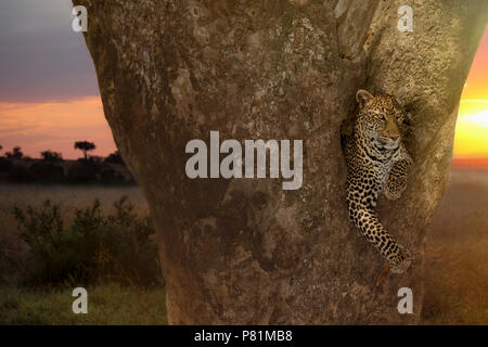The most beautiful female leopard resting on a sausage tree during sunset in Kenya - Stock Photo