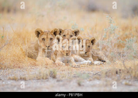 Cute lion cubs siblings in wilderness Etosha - Stock Photo