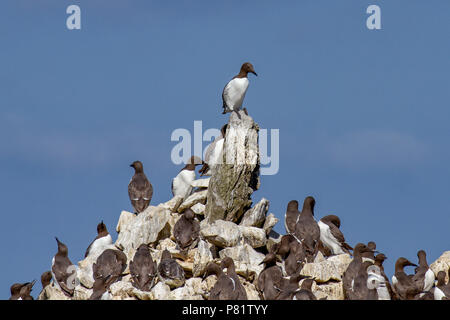 The Guillemot colony perched on Elegug Stack in Pembrokeshire, Wales, UK - Stock Photo