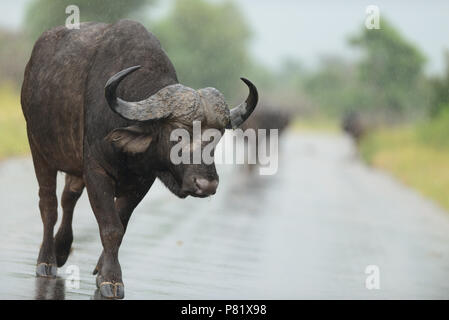 Cape buffalo on tar road road block Kruger - Stock Photo