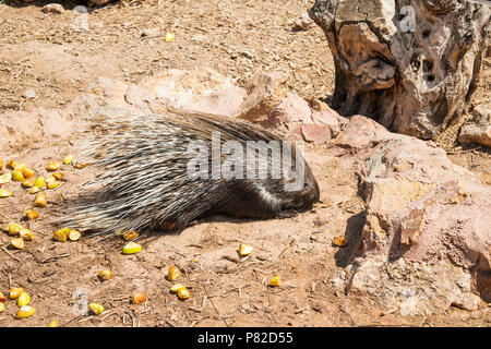 Indian Crested Porcupine (Hystrix indica), eating in outdoor enclosure - Stock Photo
