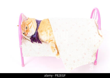 Red cat lying in bed with scarf. In studio on a white background. The concept of animal health and veterinary medicine. - Stock Photo