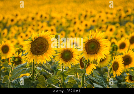 Sunflowers backlit during sunset - Stock Photo