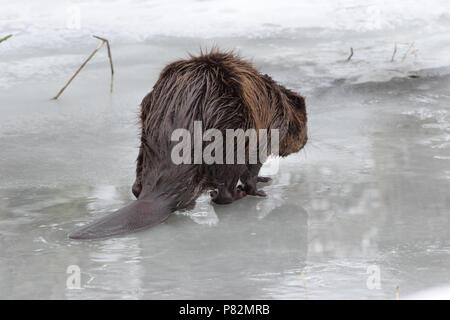 Europese Bever in de winter; European Beaver in winter - Stock Photo
