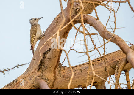 Female African Grey Woodpecker perched on a tree around 20km north-east of Ouadane, Adar, Mauritania, inside WP. April 06, 2018. - Stock Photo