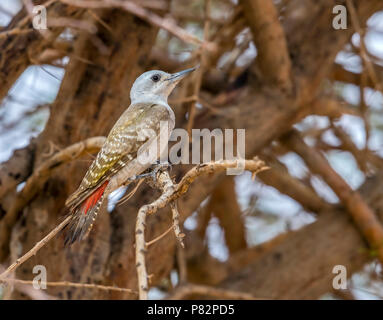Female African Grey Woodpecker perched on a tree around 20km north-east of Ouadane, Adar, Mauritania, inside WP. April 07, 2018. - Stock Photo