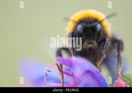 Close up van de kop van een hommel, Closeup of the head of a bumblebee - Stock Photo