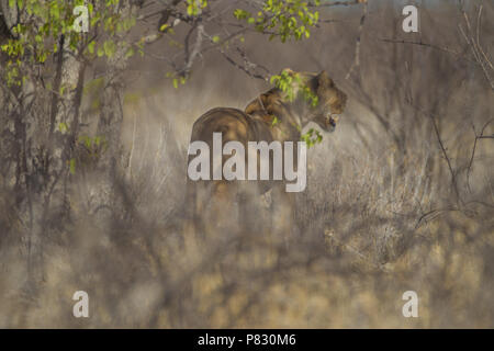 Lion in stealth mode in the bush of Etosha - Stock Photo