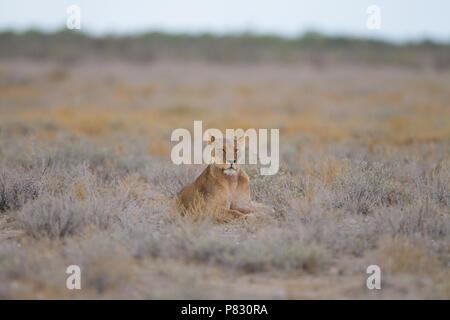 Etosha lioness in Etosha plain - Stock Photo