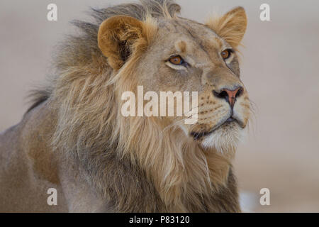 Male desert  lion porrait in Kalahari - Stock Photo