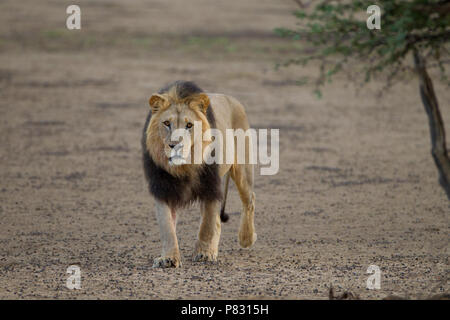 Male black maned Kalahari desert lion in the bush - Stock Photo
