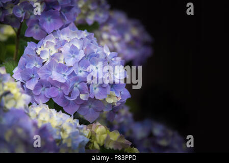 Close-up of purple hydrangea flowers blooming against dark background - Stock Photo