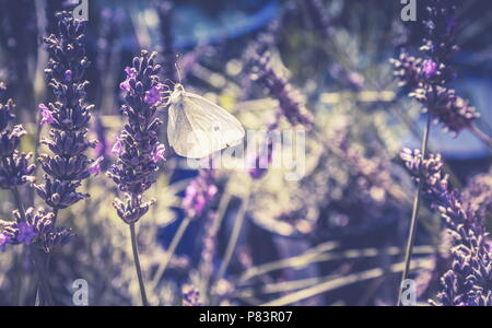 Close up image of a White butterfly in a lavender patch with copy space. - Stock Photo
