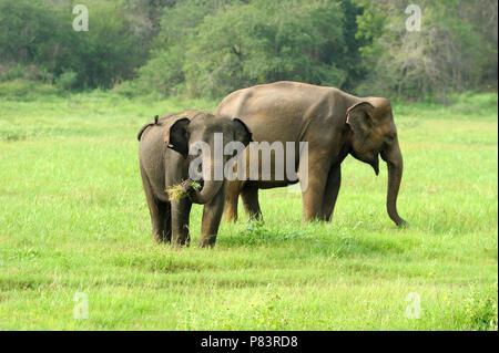 Elephants in National Park of Sri Lanka - Stock Photo