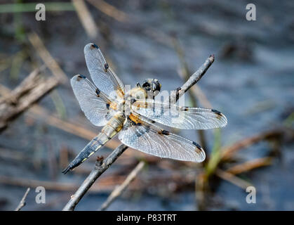 Four-spotted chaser dragonfly LIbellula quadrimaculata on a favoured perch above a heathland pool at Thursley Common in Surrey UK - Stock Photo