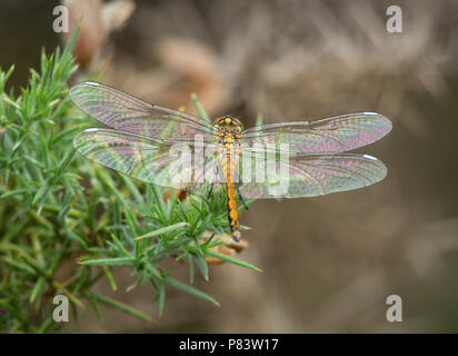 Newly emerged female or teneral of black darter dragonfly Sympetrum danae with soft iridescent wings and white wing spots at Thursley Common Surrey UK - Stock Photo