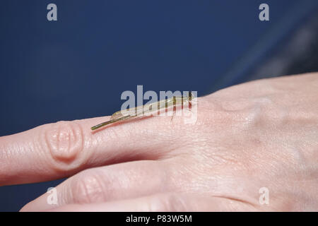 A damselfly sitting on a hand - Stock Photo